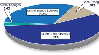 Método sustentável de coleta de esponjas marinhas garante renovação de recursos naturais.