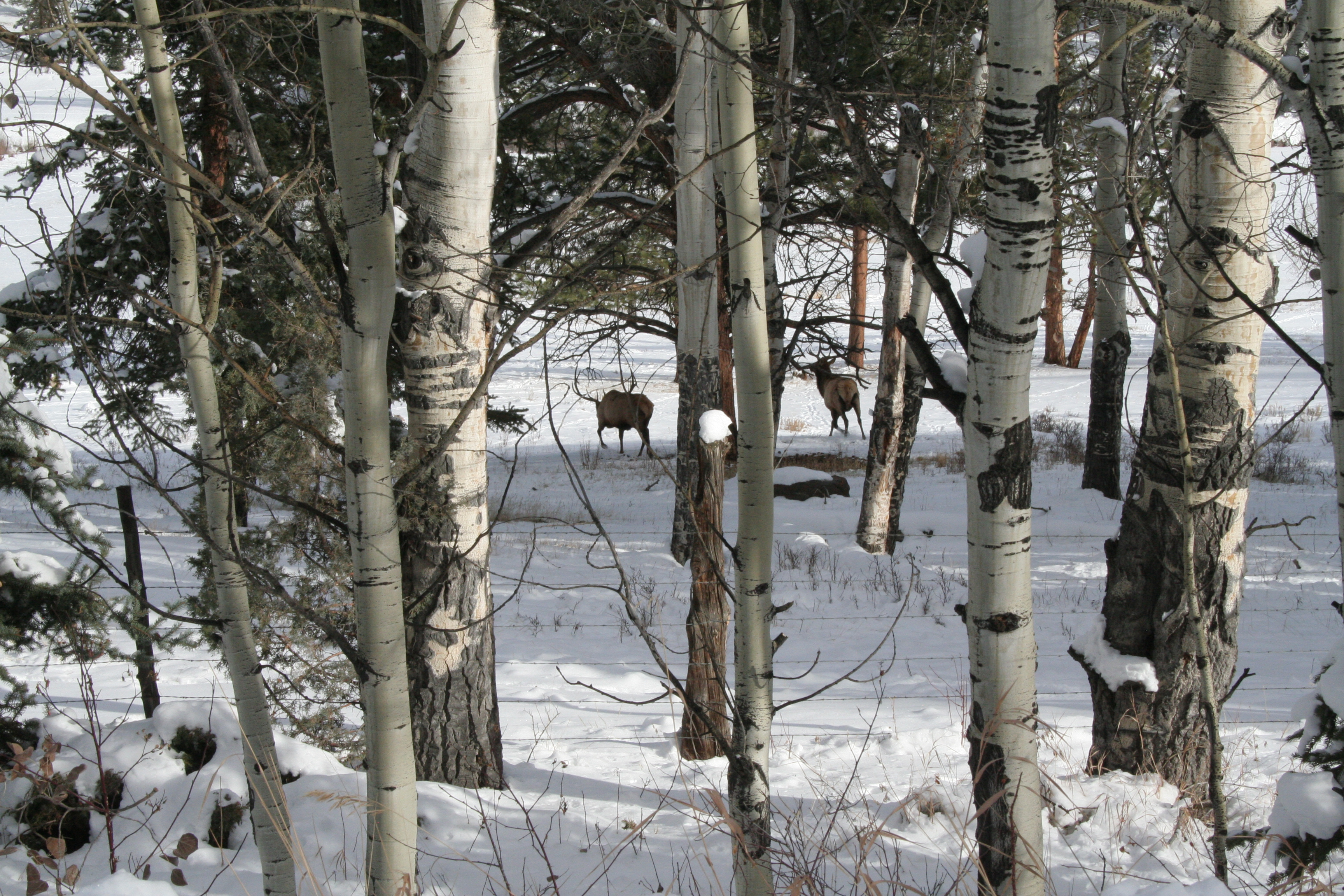 Elk near Cathedral Cabins