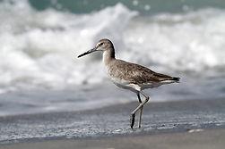 Schlammtreter (Florida)