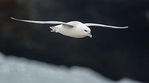 Eissturmvogel