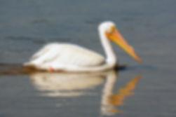 Weisser Pelikan