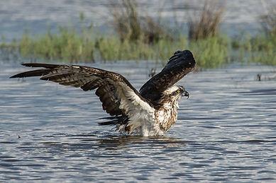 Fischadler (Spanien)