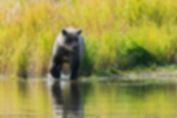 Grizzly (Alaska)