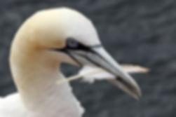 Basstölpel (Insel Helgoland)