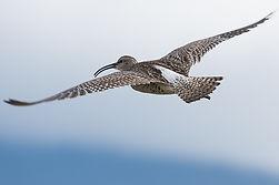 Regenbrachvogel in Island