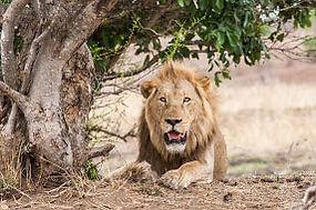 Lion au Parc Kruger