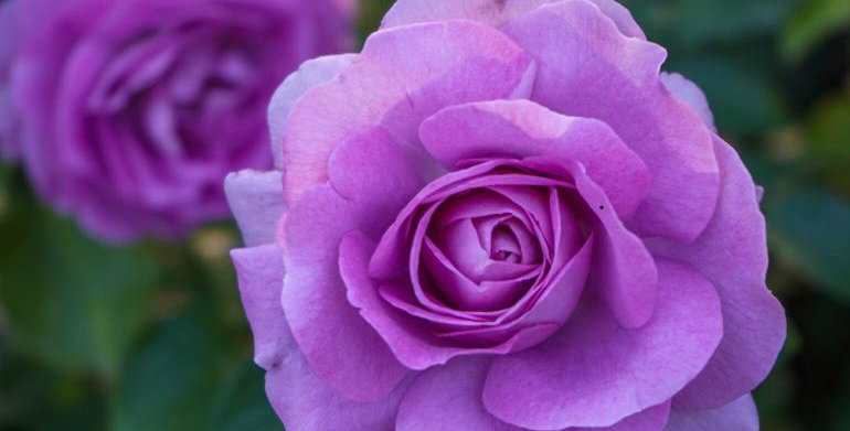 80 lavender crystal