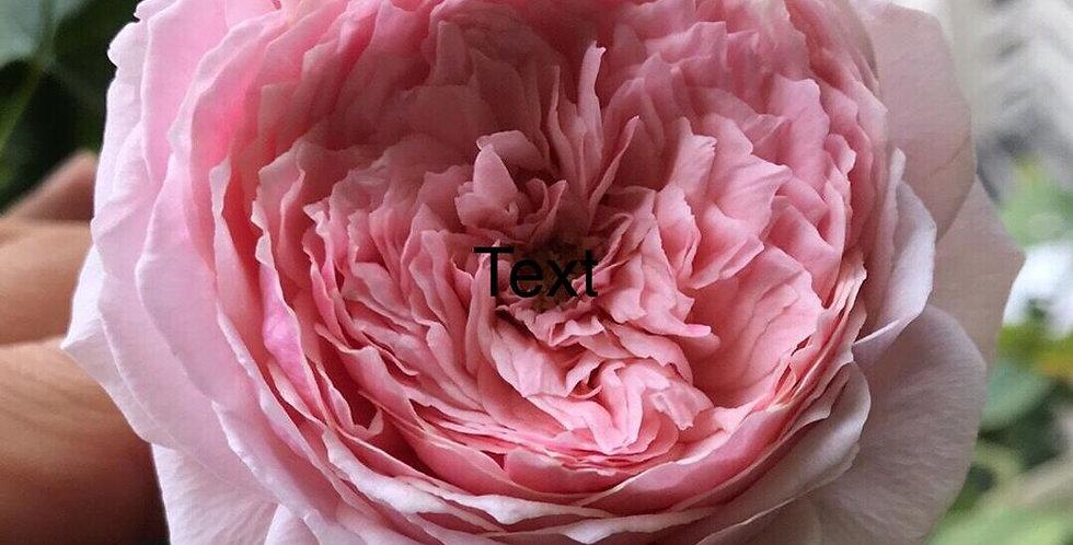 43 pink charm