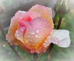 rose_perle_ros%C3%83%C2%A9e_edited.jpg