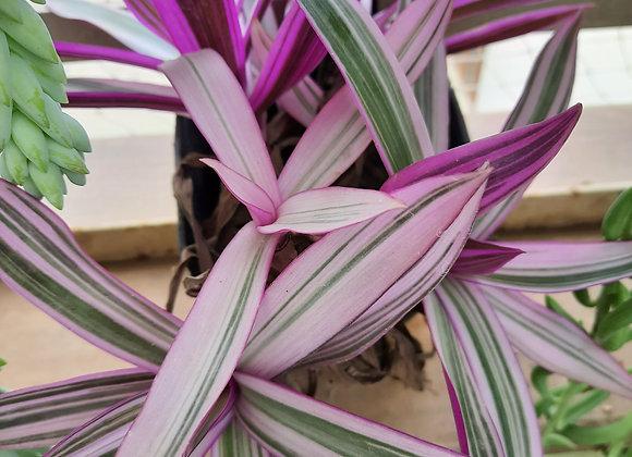Rheo Plants