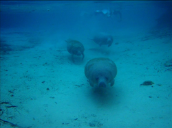 The Mysterious Manatee