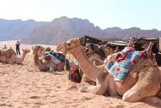 camels at a camp