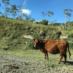 cattle alert