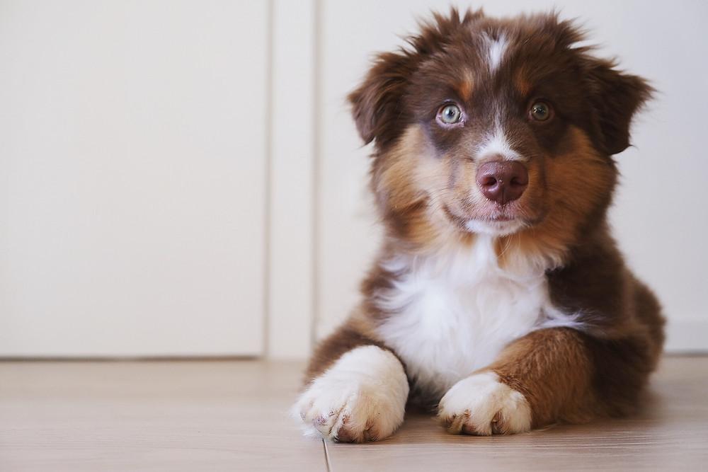Hund, Mini Australian Shepherd