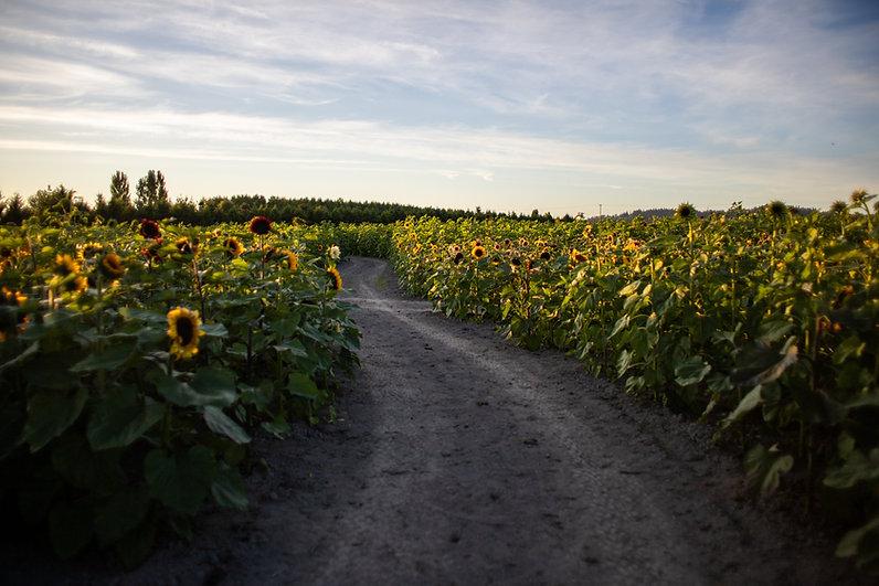 Sunflowers 2020-57.jpg