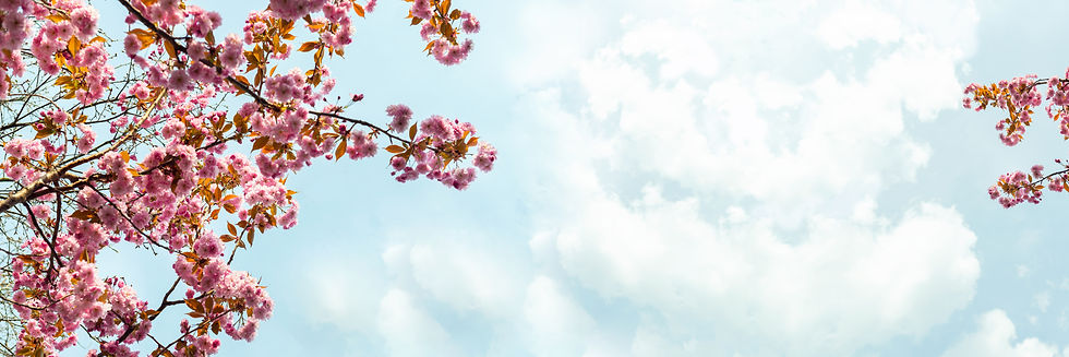 sakura-flowers-cherry-blossom-357ZPY5.jp