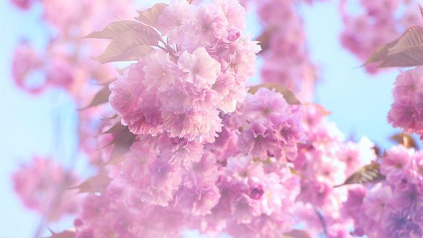 Sakura Flower0.jpg