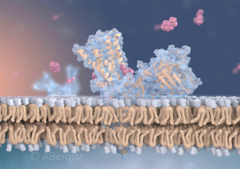 Human Muscarinic M2 receptor