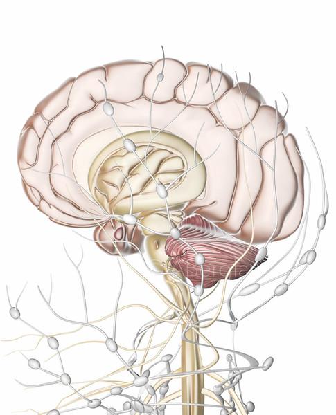Right Hemisphere of the Human Brain