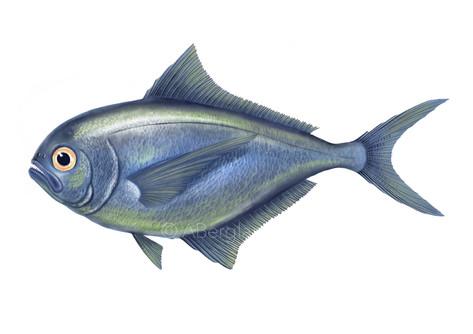 Queenfish, Brama australis