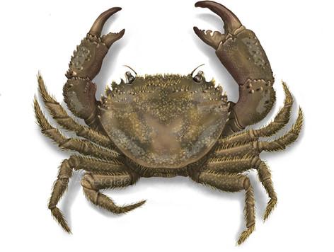 Warty crab, Eriphia verrucosa