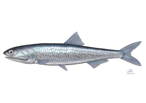 Peruvian anchovy, Engraulis ringens