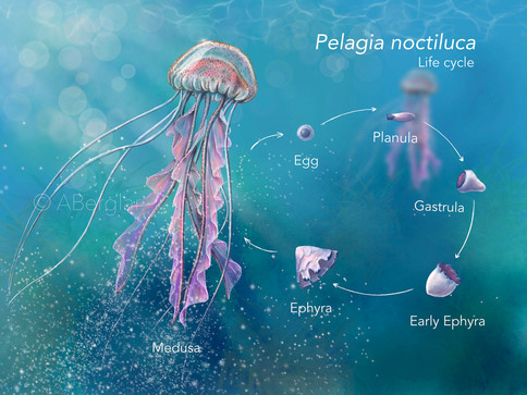 The life cycle of Pelagia noctiluca