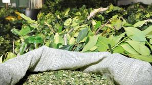 Queda na oferta eleva o preço da erva-mate no RS