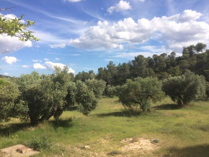 2017 Die erste Olivenernte wird vorbereitet