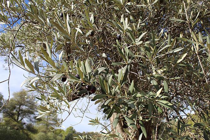 2018 Die Olivenernte beginnt
