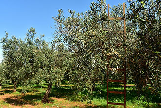 olive-trees-3803042_1920.jpg