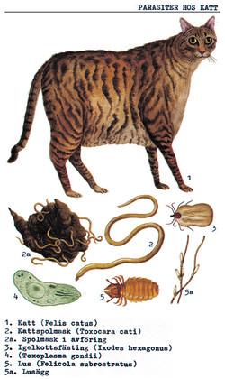 kattparasiter