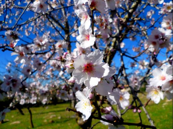 Mandelblüte Ende Januar