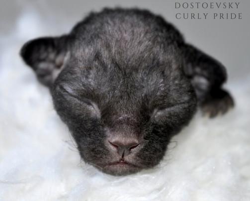 dostoevsky-curly-pride.jpg