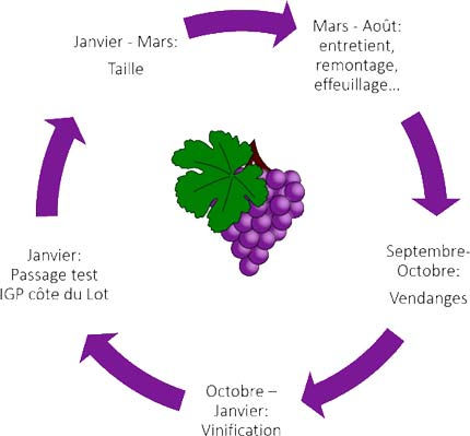 Le cycle du raisin à la ferme Qu'es Aquὸ