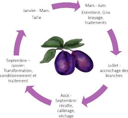 Le cycle des pruneau à la ferme Qu'es Aquὸ