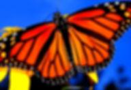 mariposa monarca 2.jpg