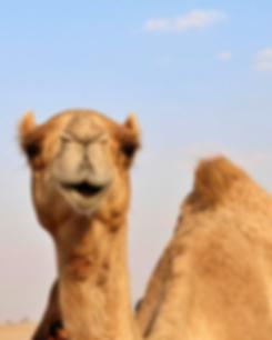 camellos 2.png