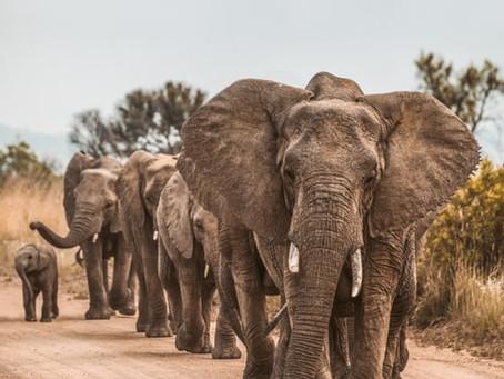 Elephant hunting auction in Botswana