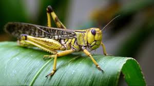 Travel Advisory: Locust swarms in Sudan, Ethiopia, Kenya and Somalia