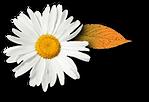 Flor Branca folha Menina Zen