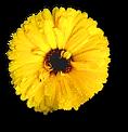 Flor Amarela Menina Zen
