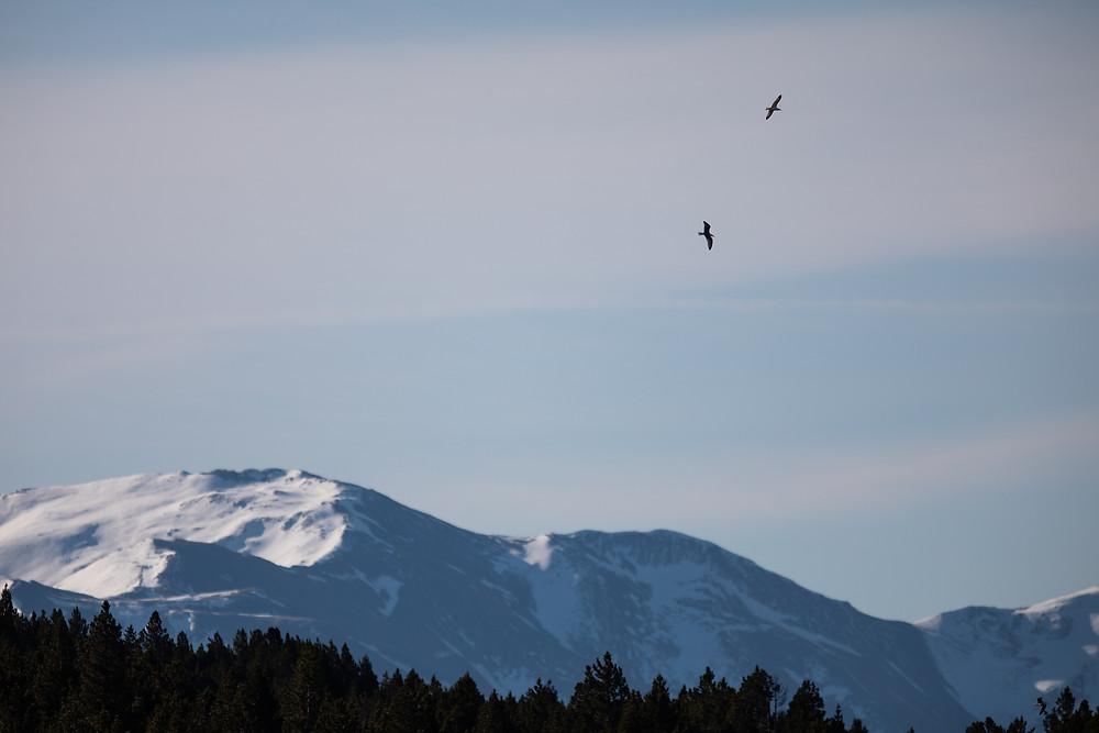 goeland montagne pyrenees