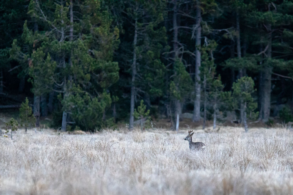 stage photo animaliere pyrenees arnaud saguer