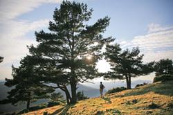 Pine tree in sun