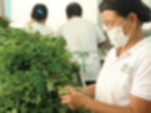 特に栄養価が高いことで知られるフィリピン・イロコス地方で栽培された無農薬の新鮮なモリンガのみ使用しています。    製造方法にもこだわり、その日の朝にとったモリンガを直ぐに加工工場に運び、その日のうちに乾燥(乾燥機で乾燥)を行います。    乾燥モリンガをパウダー、フレーク状にする加工までをフィリピンで行っています。    輸送時に、フィリピンの政府の検疫機関で細菌検査を行い、細菌が含まれていないと確認されたモリンガのみを日本に輸出しています。    その後、日本の提携工場で加工と包装を行い、お客様にお届けしております。  モリンガの新鮮さを守り、きちんとした衛生管理のもとで製造されたモリンガ製品をお届けしております。