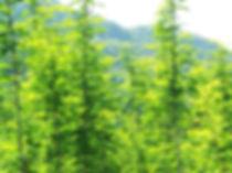 モリンガは地域によって色々な違いがあり、育った地域の気温によっても栄養価が大分異なります。 また、モリンガは暖かい地域の植物の為、気温が15℃以下で成長が止まってしまうと言われています。   その為、年間平均最高気温30℃のフィリピンで太陽の光をたっぷり浴びてすくすく育ったモリンガは、日本国内でハウス栽培されたモリンガより栄養が高く、濃い緑色をしています。   そのフィリピン産モリンガの中でも、栄養価、品質ともに最高評価をされているイロコスモリンガのみを使っています。    また、私たちのイロコスモリンガは一般に販売されている遺伝子組み換え種ではなく、モリンガオレイフェラの在来種のみから作られています。  