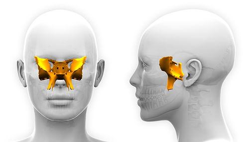 Female Sphenoid Skull Anatomy .jpg