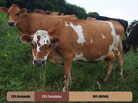 !cow5.jpg
