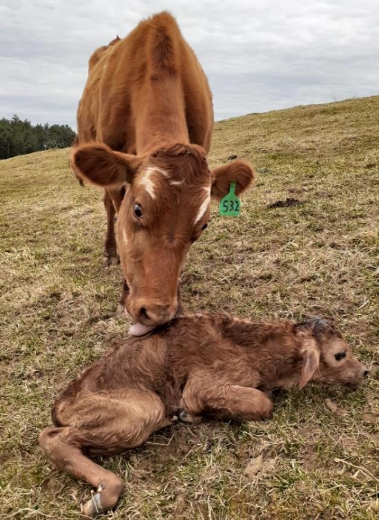 First calf of 2021